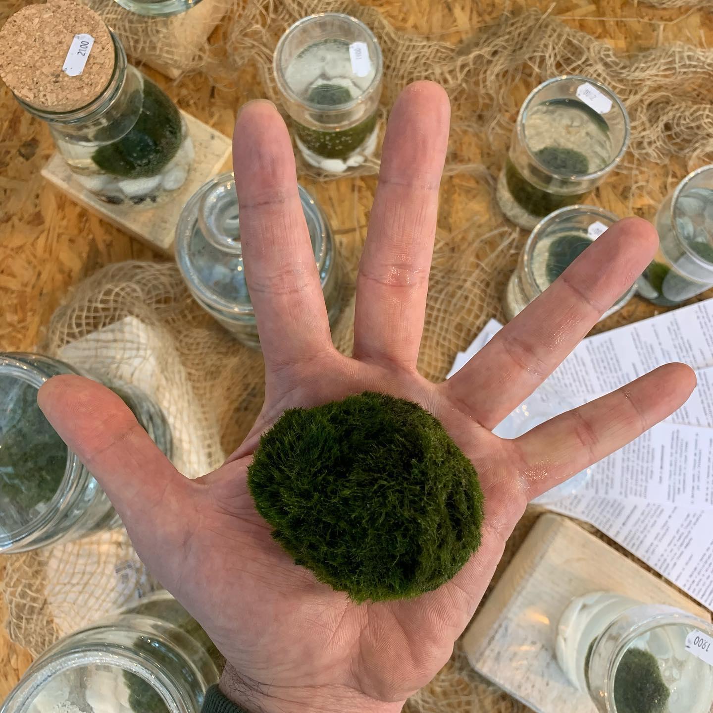"""""""Marimo"""", che in lingua giapponese significa biglia (Mari), è una alga d'acqua dolce a forma di palla."""