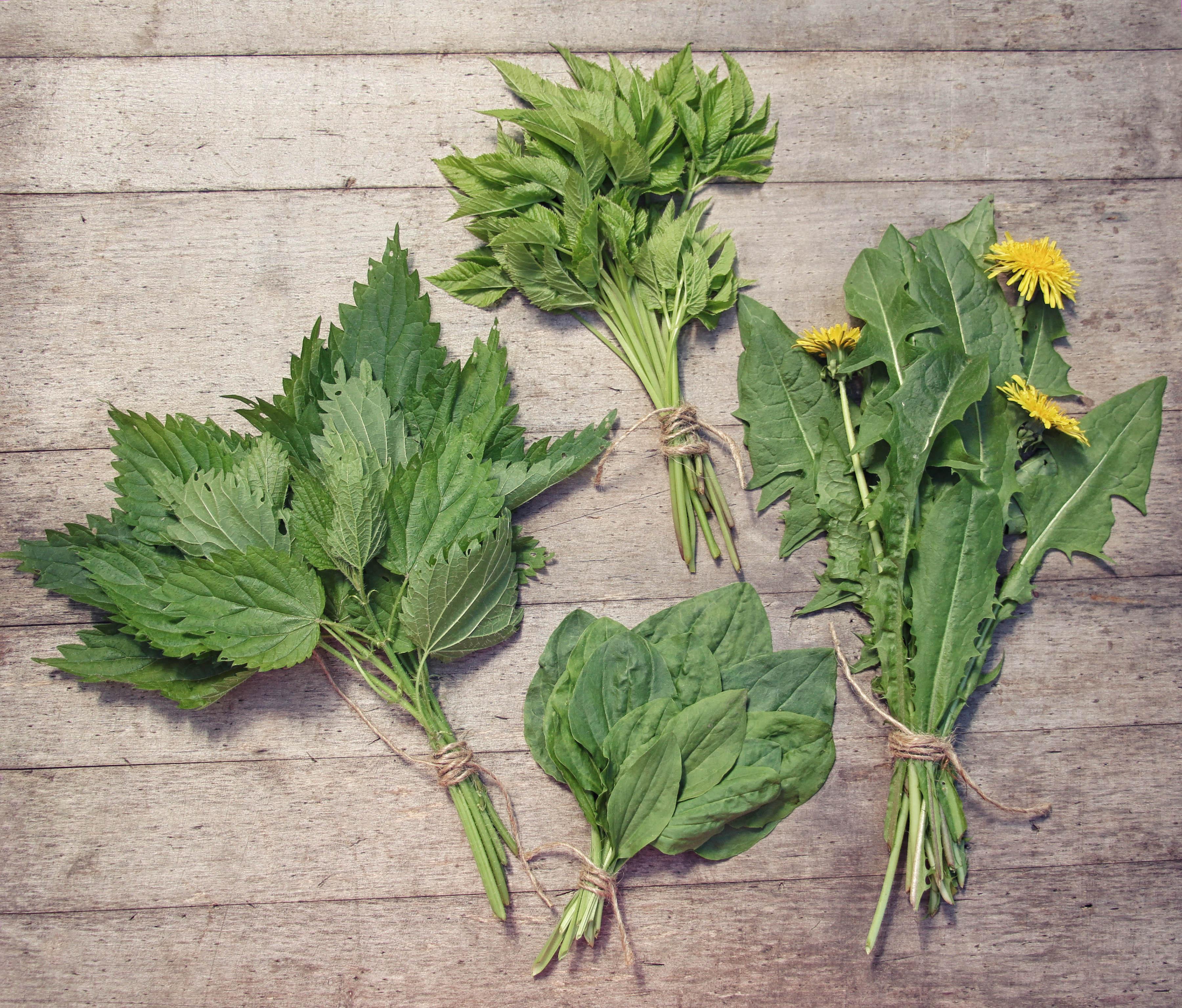 Mazzi di erbe selvatiche primaverili commestibili: ortica, dente di leone, gotta, piantaggine.