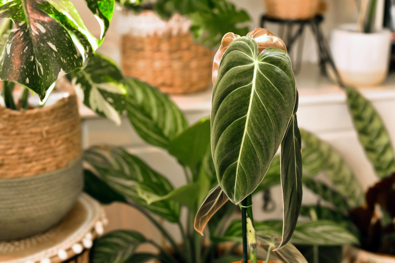 Philodendron Melanochrysum, del genere delle Araceae originario delle zone tropicali.