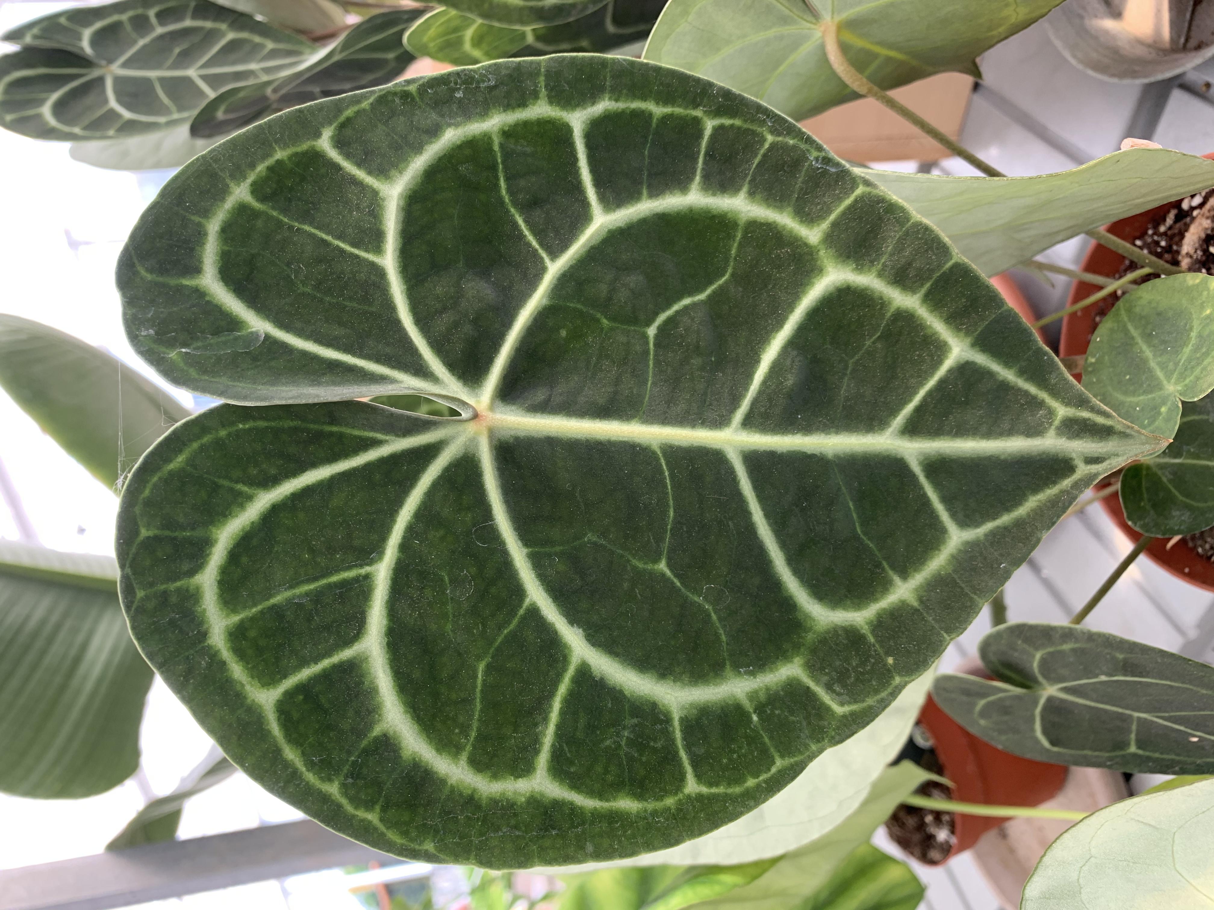 L'Anthurium Clarinervium, della famiglia delle Araceae, è una pianta d'appartamento con foglie fuori dal comune: grandi, verde scuro, cuoriformi, profondamente lobate e con delle venature bianche che contrastano nettamente con la lamina.
