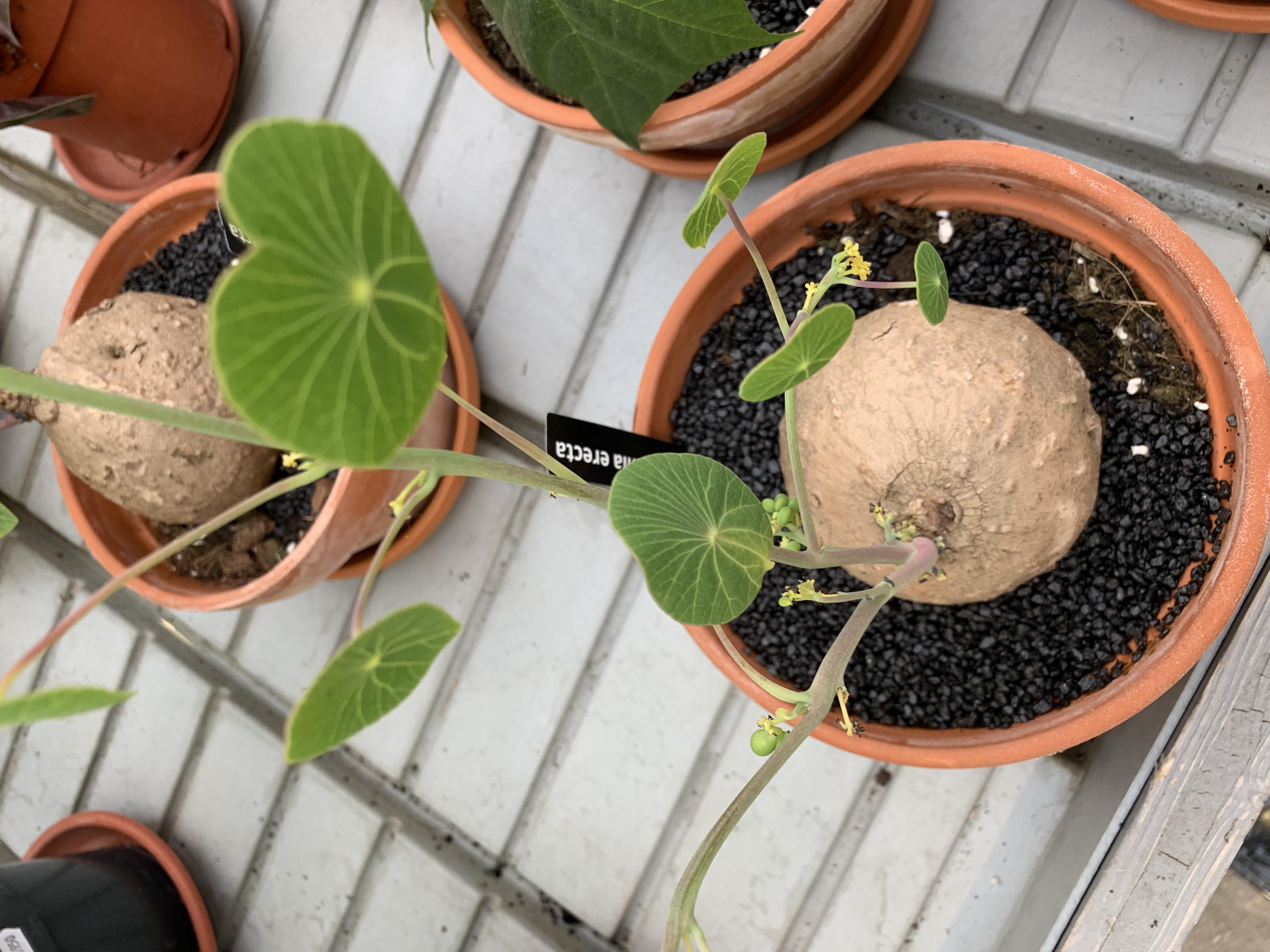 Stephania Erecta appartiene alla famiglia delle Menispermaceae. Sono erbacee e perenni e che possono, in natura, raggiungere il metro di altezza.
