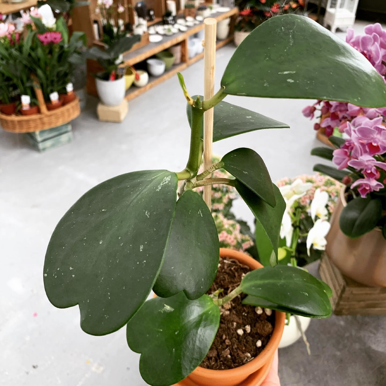 La Hoya kerii, solitamente sempre piccolina… qui nella sua versione enorme!