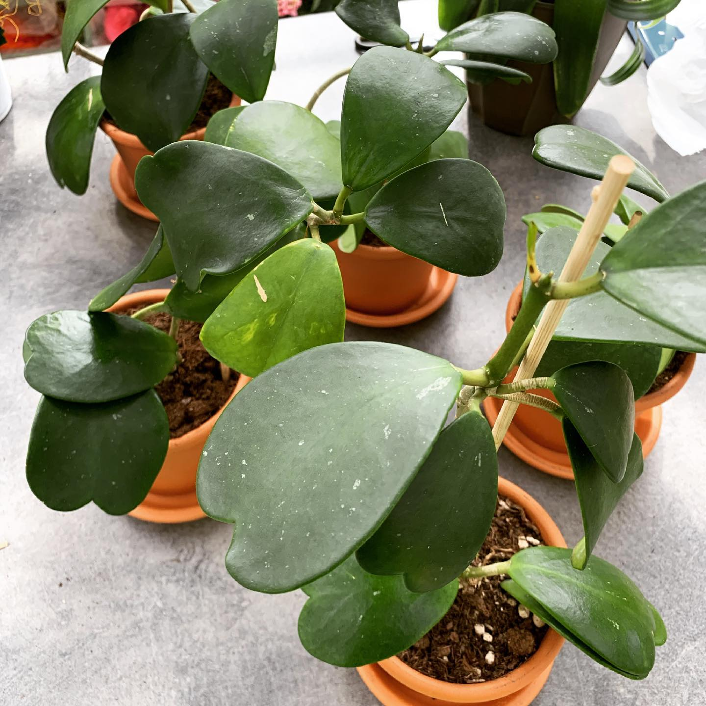 La Hoya kerii è una pianta grassa dall'indescrivibile bellezza, molto delicata grazie alla foglia dalla tipica forma a cuore.