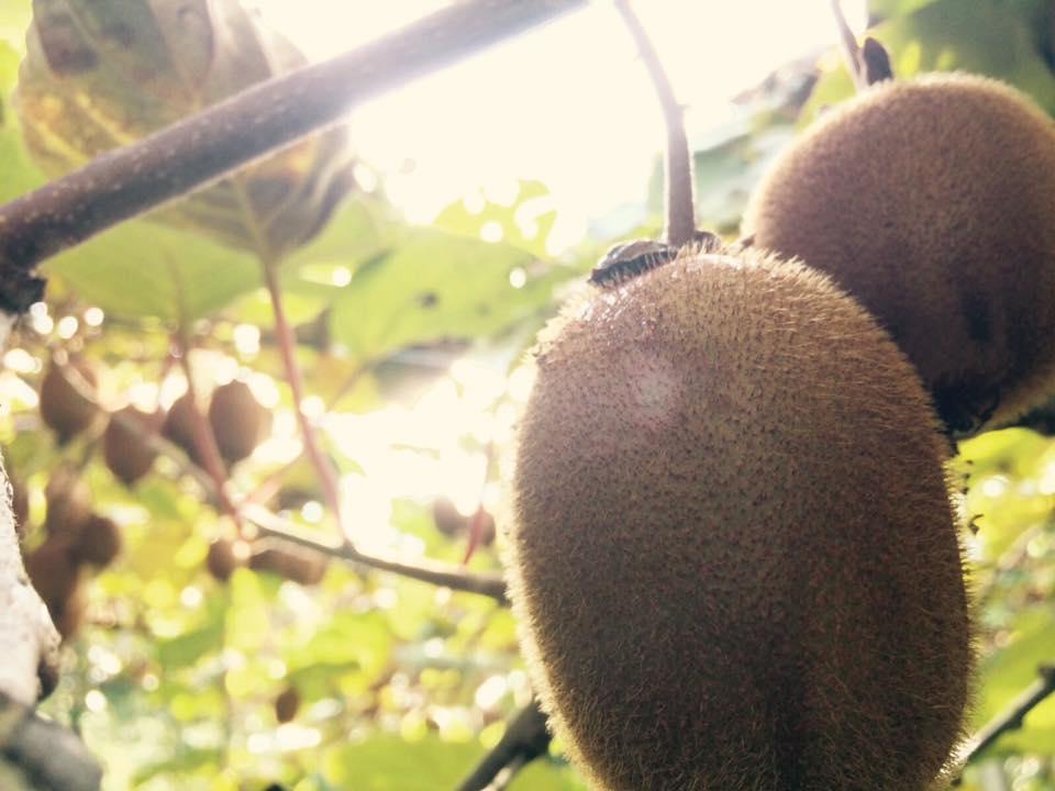 Un frutto di Actinidia