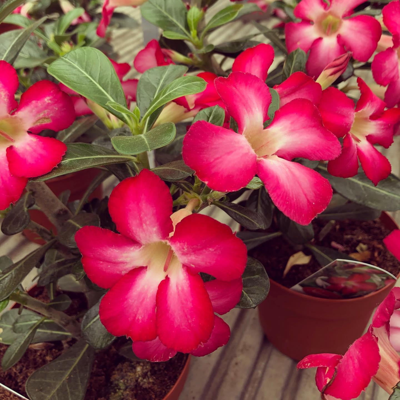 Adenium, pianta grassa che fiorisce praticamente sempre e vive bene con pochissima acqua