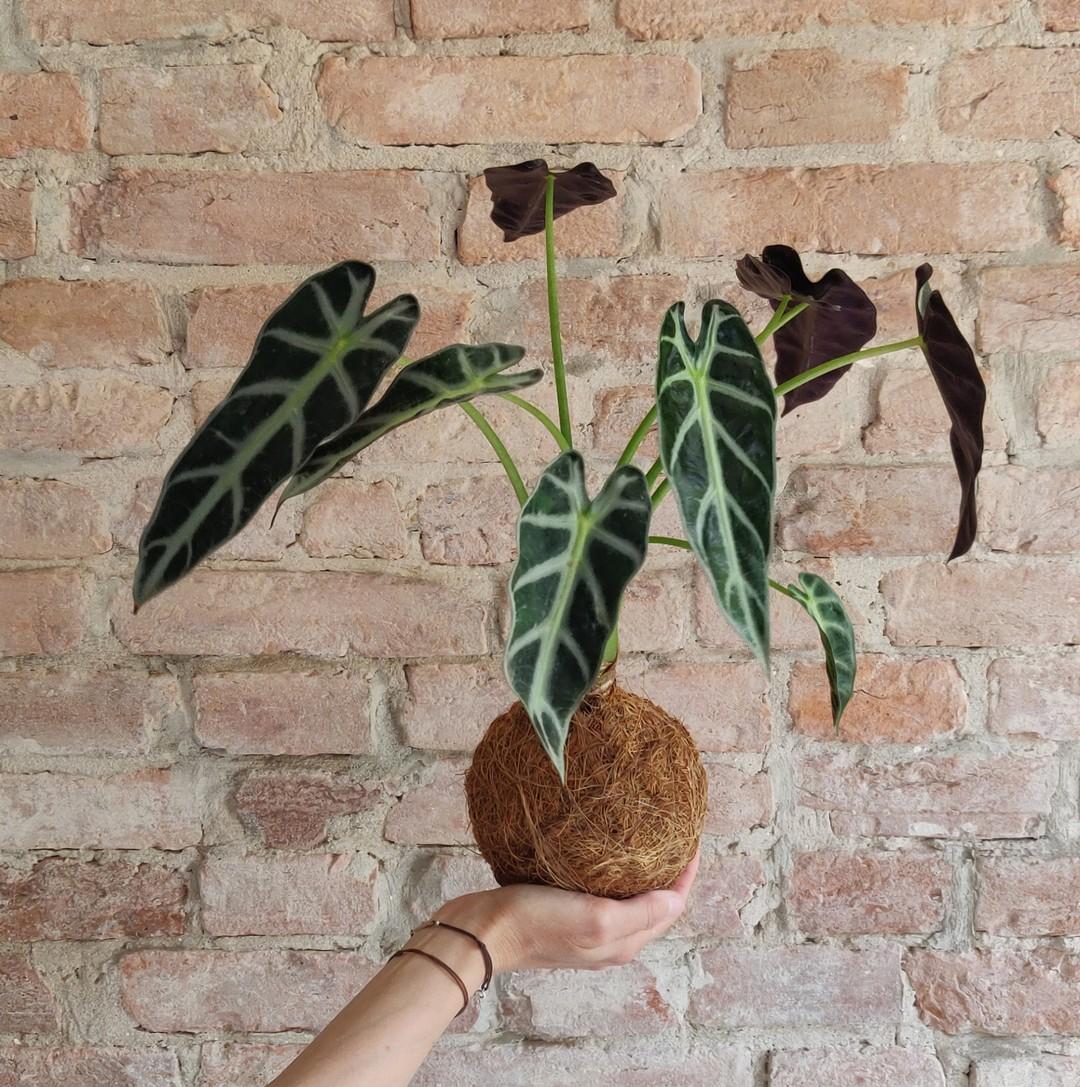 L'Alocasia orecchie d'elefante non è una pianta dalle troppe pretese, si adatta bene agli ambienti e riesce spesso a crescere velocemente senza troppe preoccupazioni.