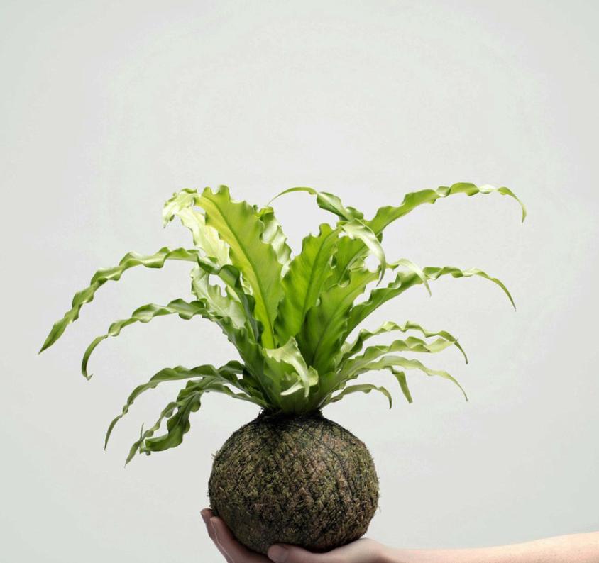 Asplenium nidus. Tra le felci è la sola che tollera ambienti caldi e secchi ed è quindi perfetta in appartamento.