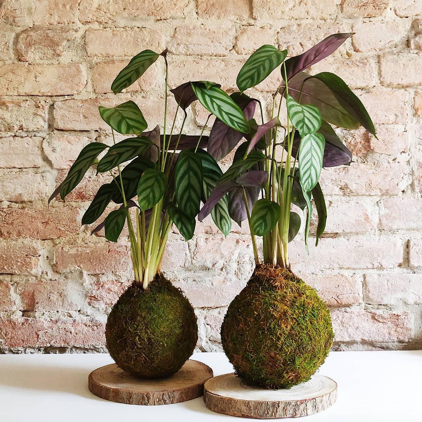 La Calathea freddy, come tutte le piante della sua specie, fa parte delle piante depura aria.