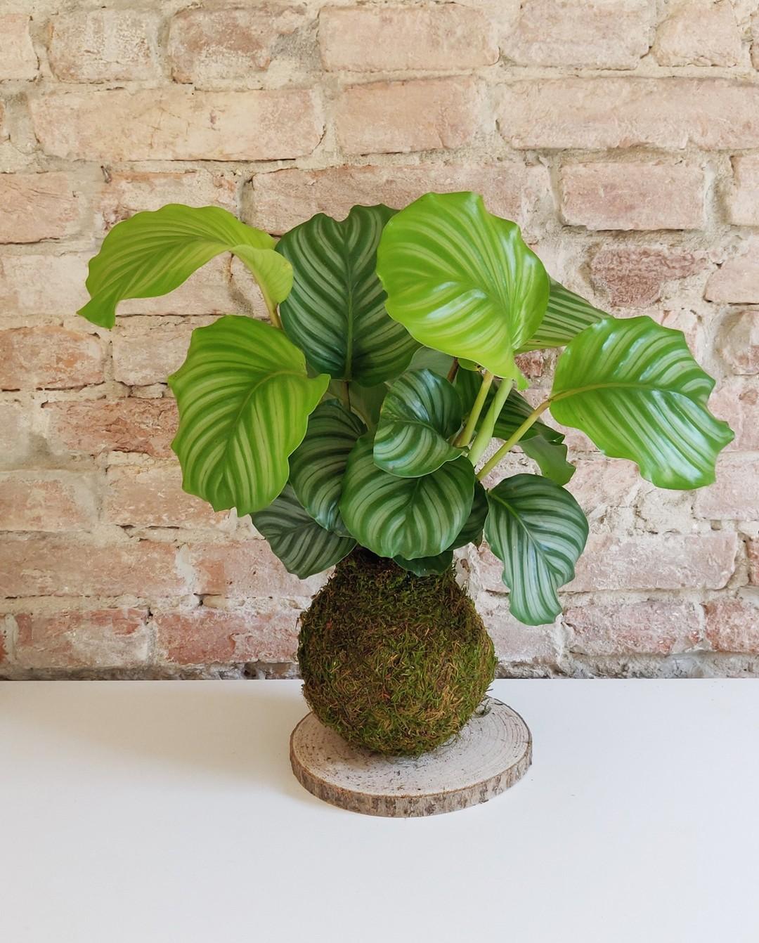 Calathea Orbifolia. Questa pianta risulta in grado di migliorare la qualità dell'aria che respiriamo e limitare l'inquinamento domestico.