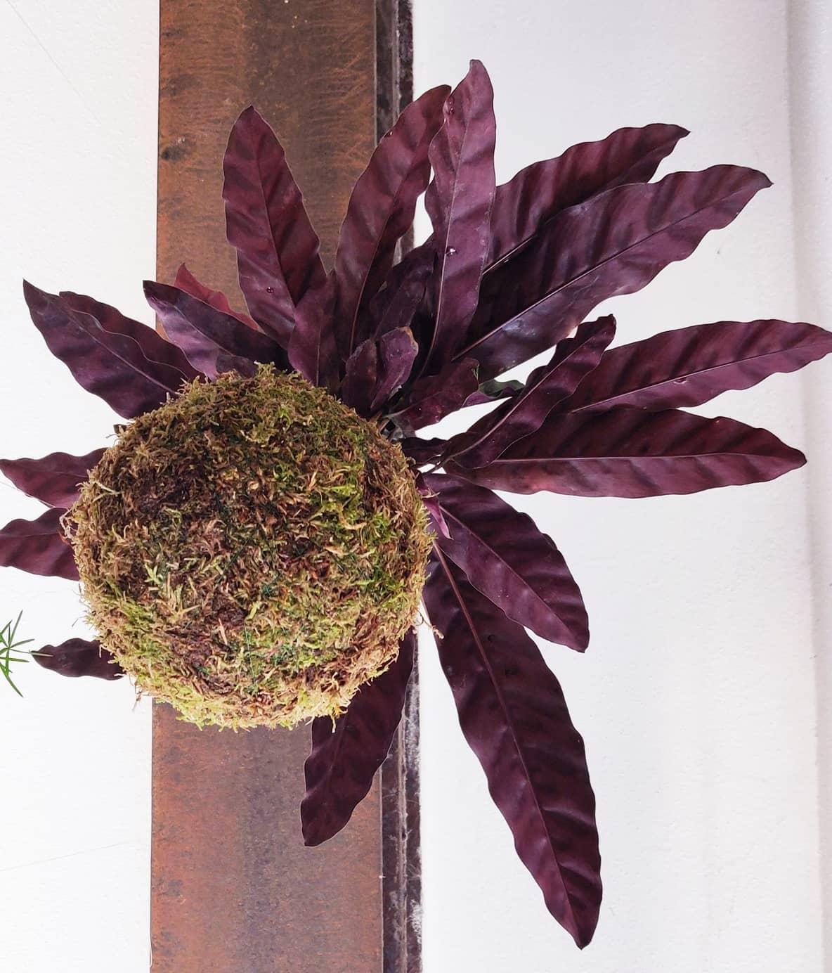 Calathea lancifoglia. Le sue foglie maculate si presentano increspate ai bordi e la colorazione è di verde chiaro nella pagina superiore, mentre in quella inferiore è violacea.