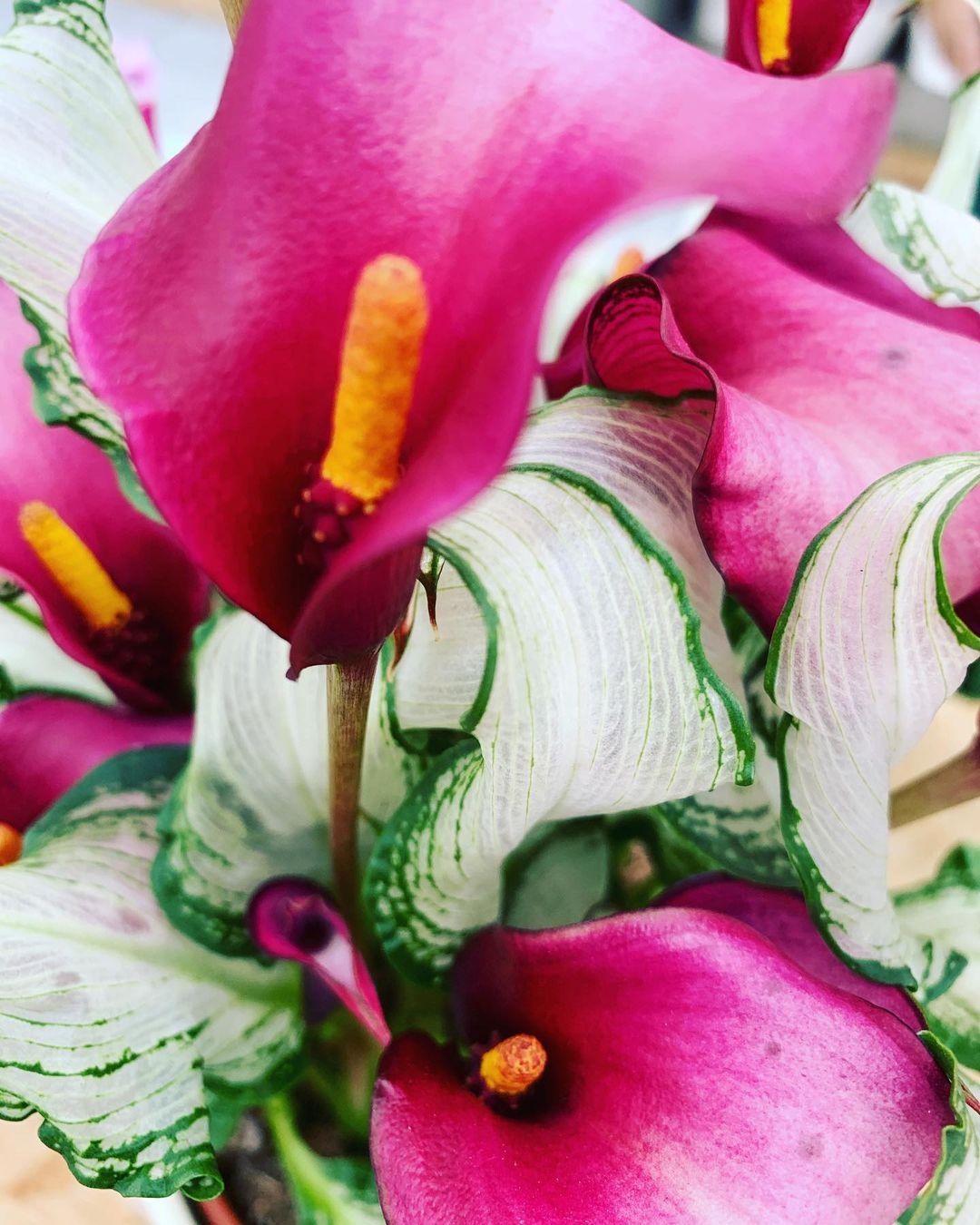 Calla Frozen Queen, con il colore splendido dei suoi fiori e la trasparenza delle foglie!