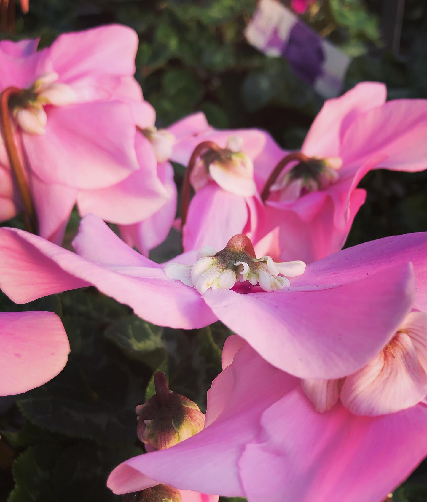 Ciclamino, particolare del fiore