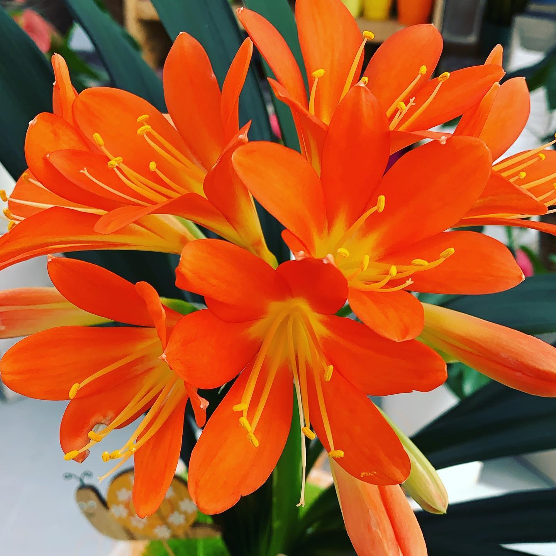 La Clivia miniata, pianta con una buona resistenza al freddo ed una fioritura molto appariscente e prolungata