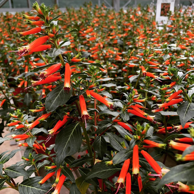 La cuphea ha una lunga fioritura dai colori caldi, ideale per un terrazzo estivo nel quale si desidera inserire qualcosa di nuovo