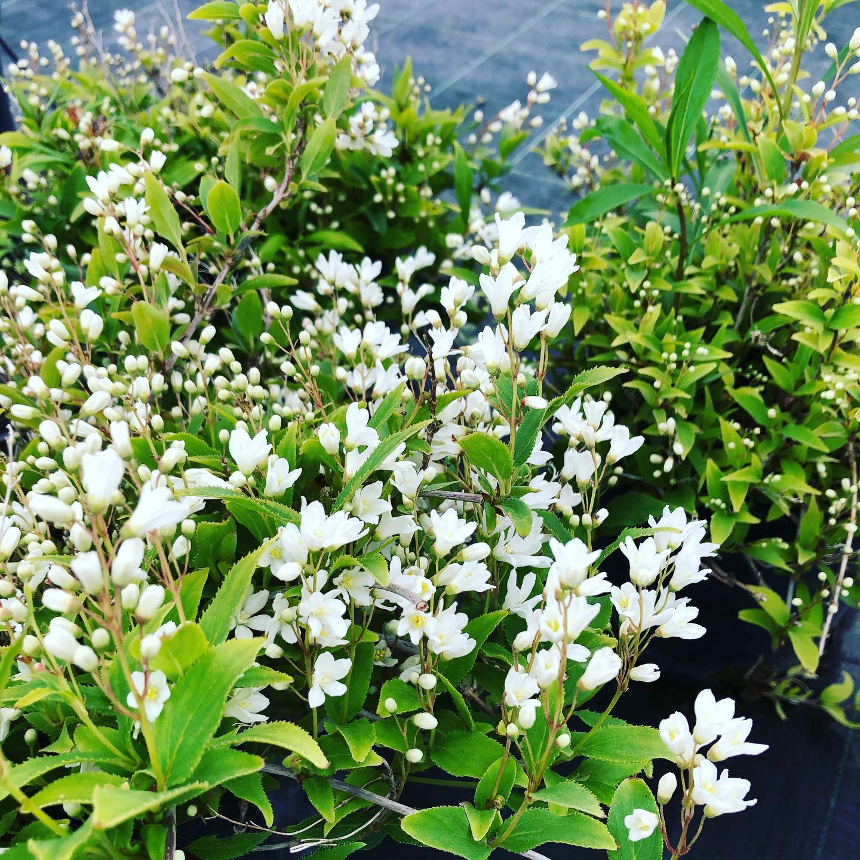 La Deutzia gracilis è un arbusto di facile coltivazione, foglie verdi, opposte, con margini dentellati con fioritura a Luglio