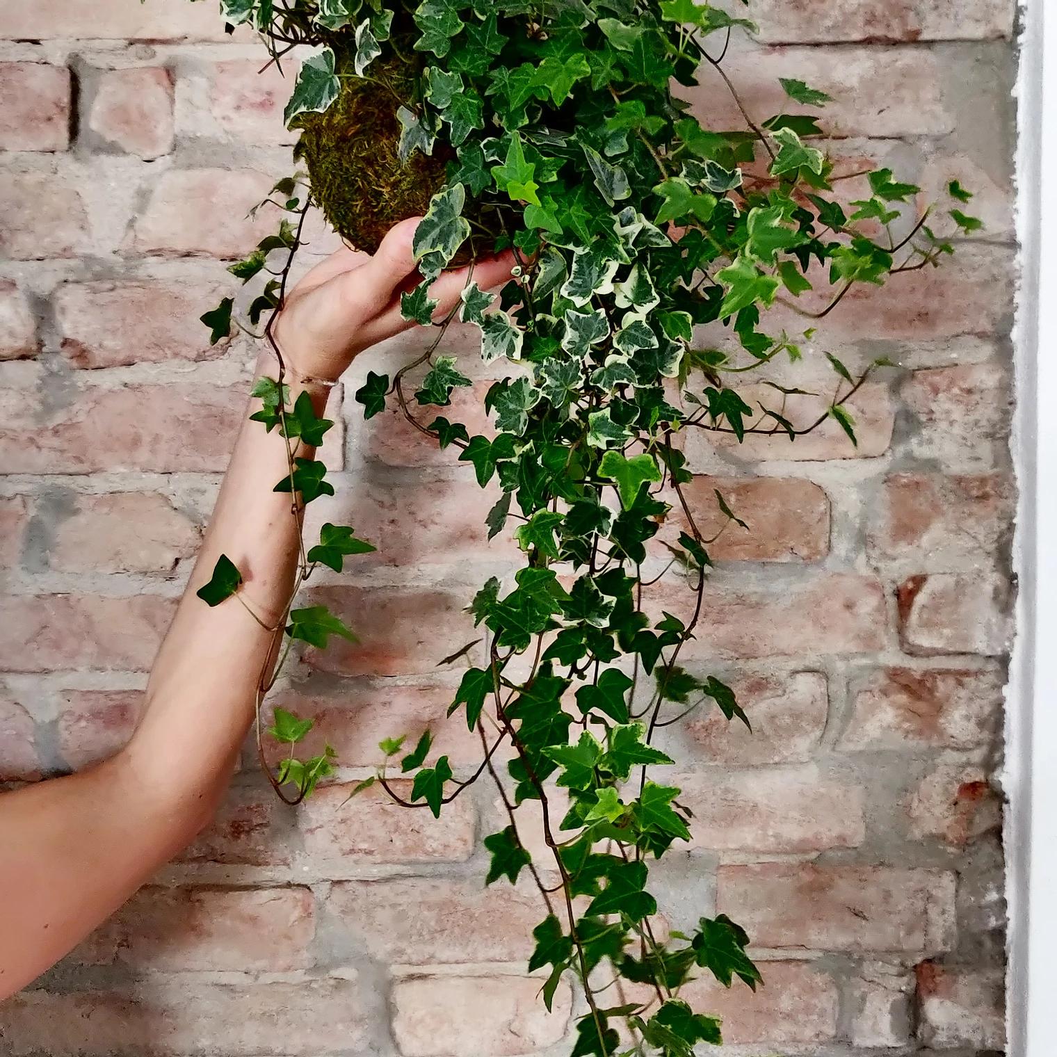Edera helix. Forse non lo sai che i frutti e le foglie di edera sono tossici se ingeriti, ma vengono utilizzati in erboristeria ed anche in farmacologia.