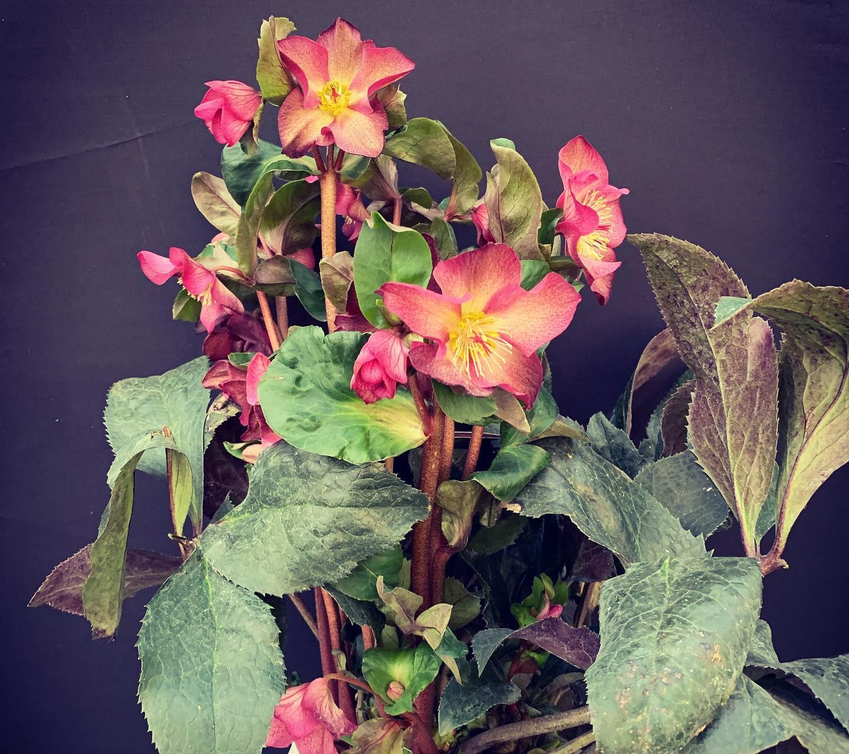 L'Elleboro orientale è una pianta perenne della famiglia dei ranuncoli