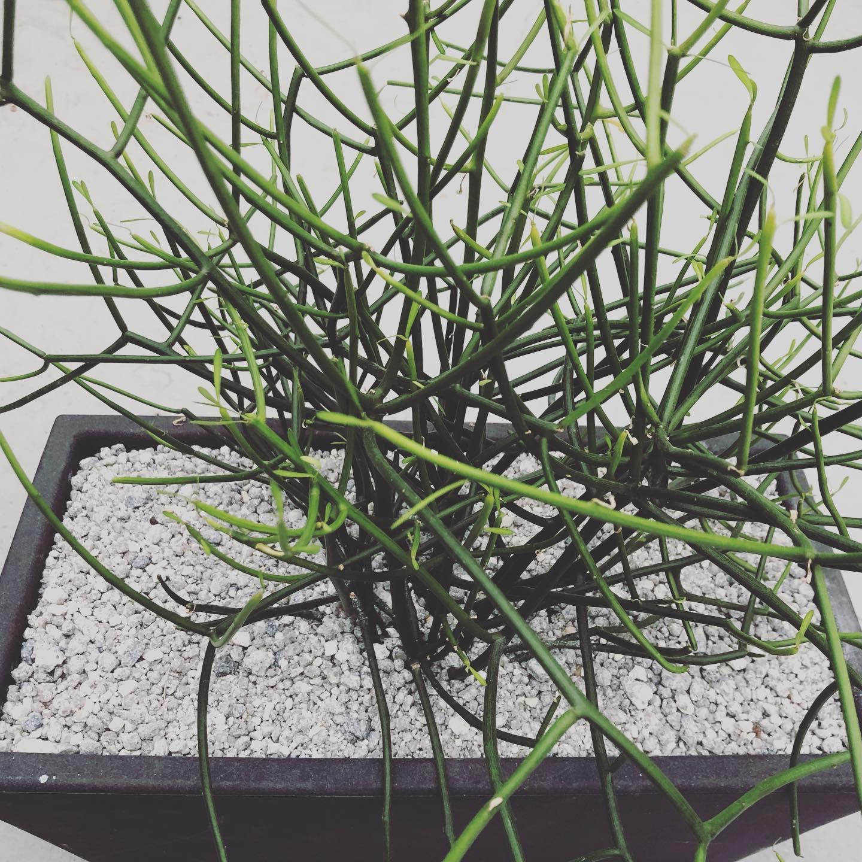 Euphorbia tirucalli, pianta grassa che richiede poca acqua e poche cure, chiamata anche pianta delle matite.