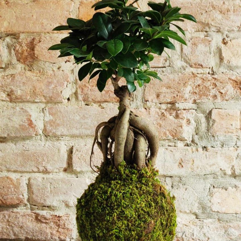 Il Ficus Ginseng viene chiamato così perché, coltivato a bonsai, ha il fusto che ricorda le radici di ginseng.