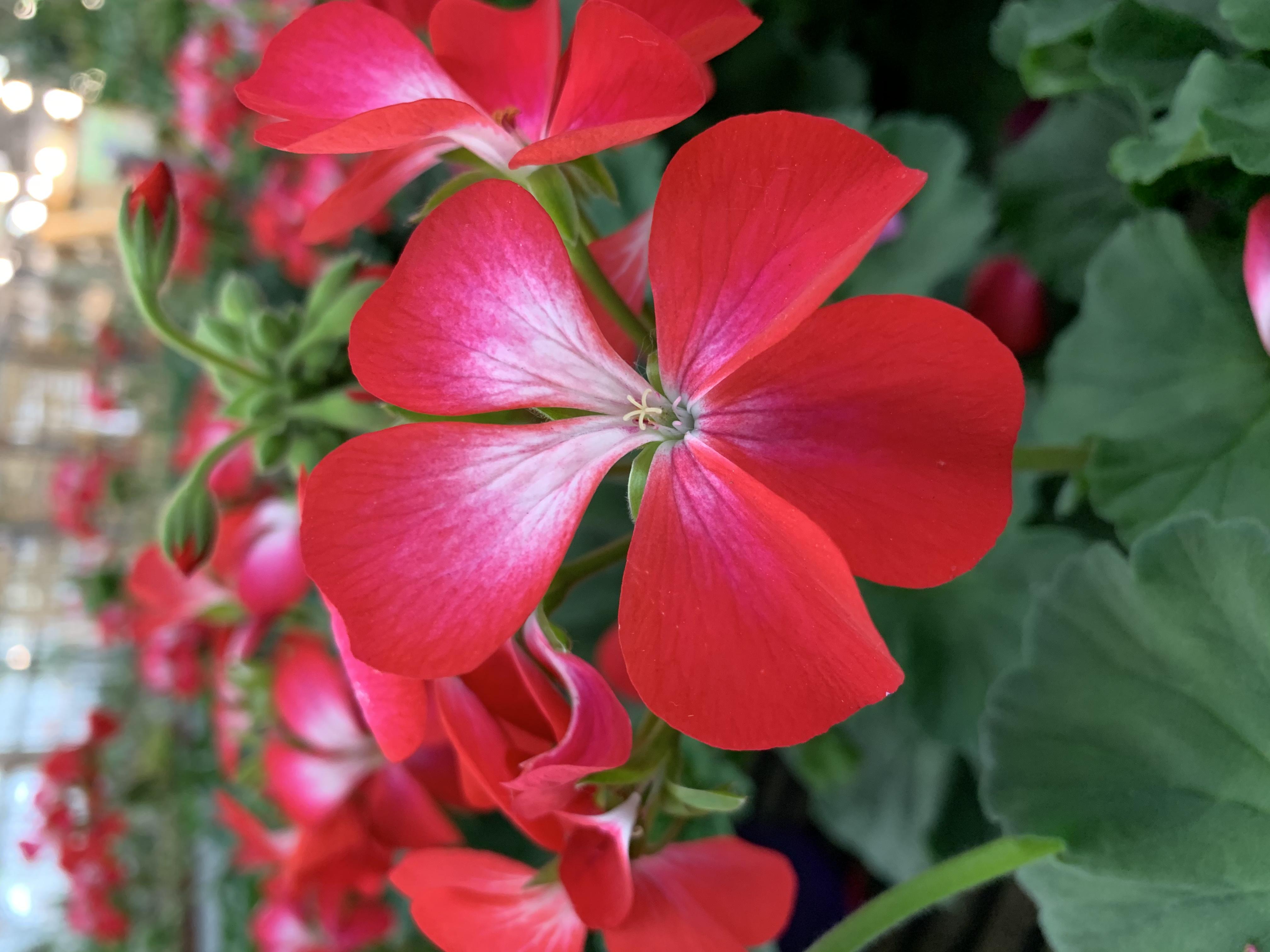 Il geranio è il tipico fiore da pieno sole, che con un po' di concime esplode in fioriture meravigliose che durano tutta l'estate.