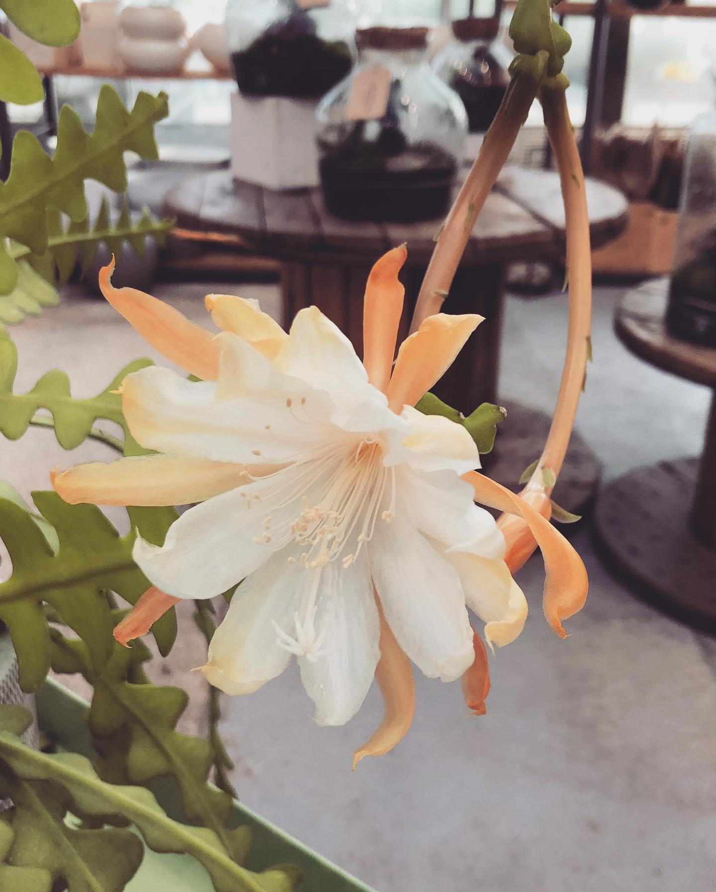 I fiori enormi e profumatissimi del Epiphyllum; pianta super semplice da coltivare!