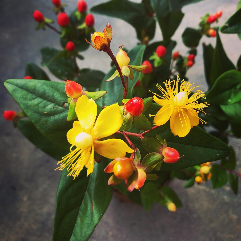 L'Iperico è una pianta officinale perenne
