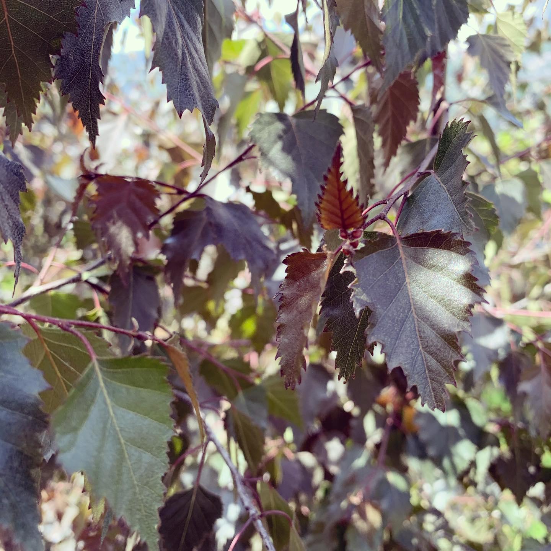 La Betulla dalle foglie nere.