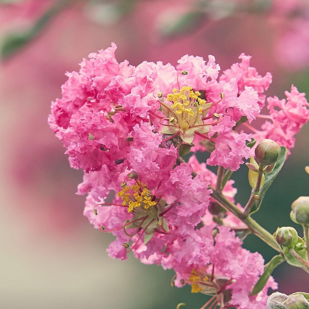 Fiori di Lagestroemia, pianta a foglia caduca, allevata come albero di taglia contenuta o anche come arbusto