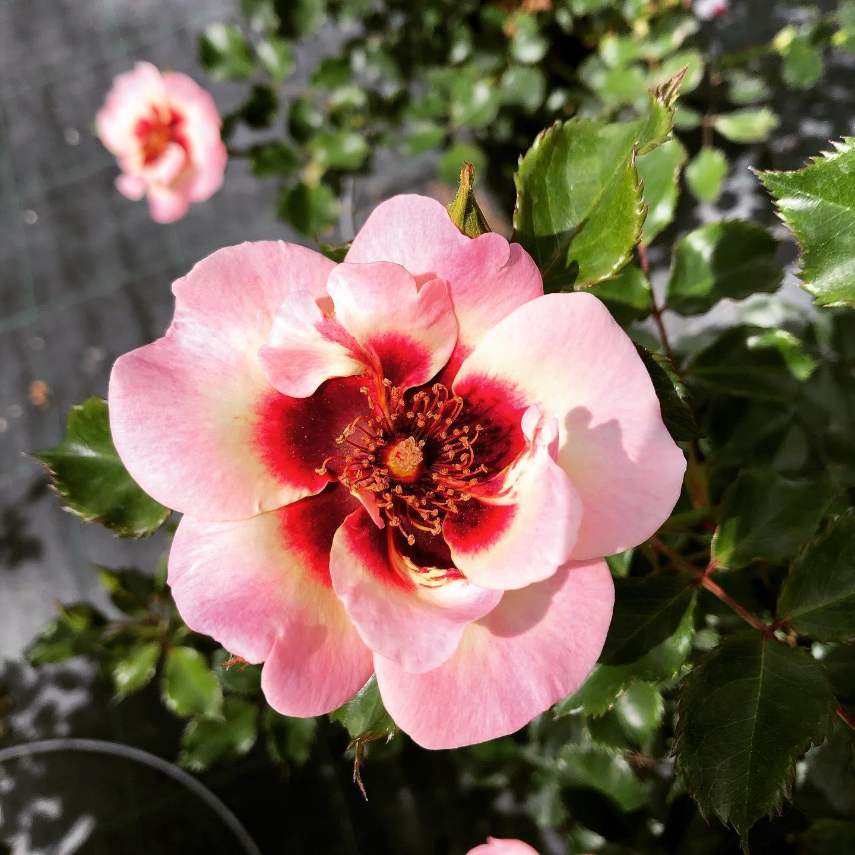 Le nostre Rose Babylon eyes