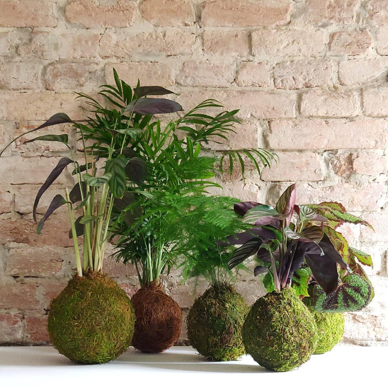 Le piante tropicali si adattano perfettamente alla vita su kokedama.