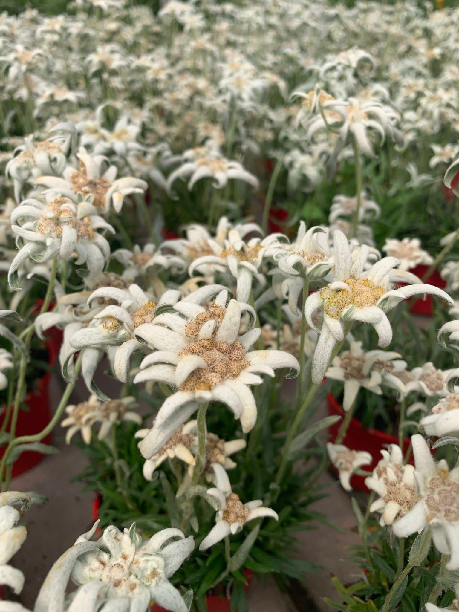 Leontopodium alpinum (stella alpina)