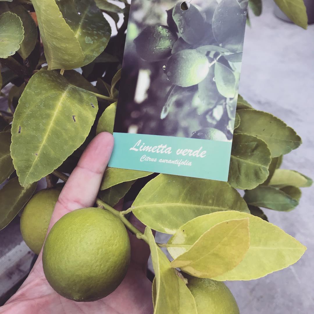 Limetta verde