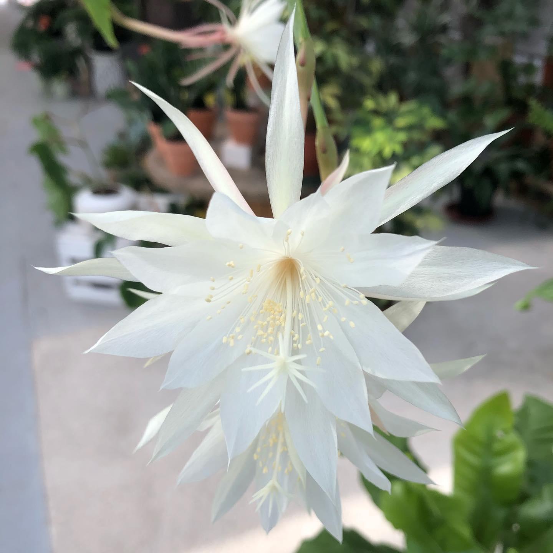 Lo splendido fiore di Epiphyllum