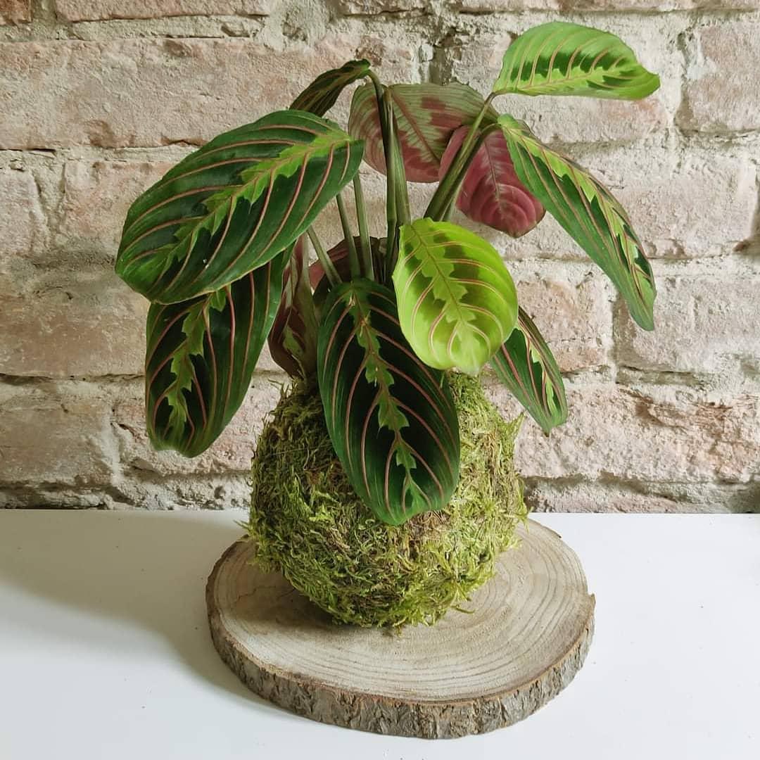 La Maranta Leuconeura Fascinator o Pianta della Preghiera è un pianta perenne. La caratteristica delle foglie è quella di chiudersi verso l'alto la sera ed accoppiarsi simile a due mani che pregano.