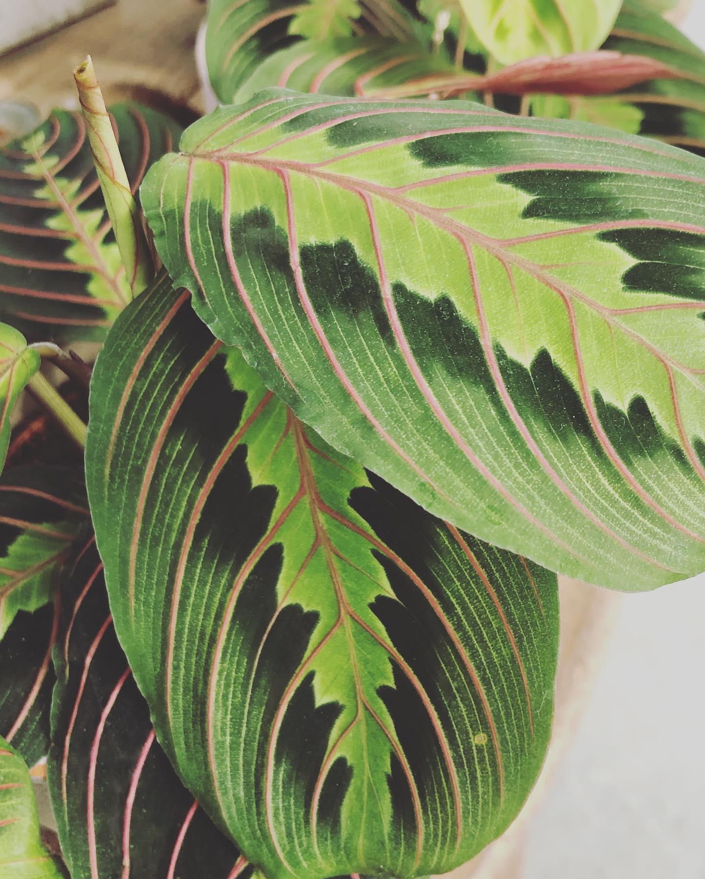 Maranta tricolor. La Maranta è facile da coltivare ed è molto apprezzata per la bellezza delle foglie e per il rapido accrescimento.