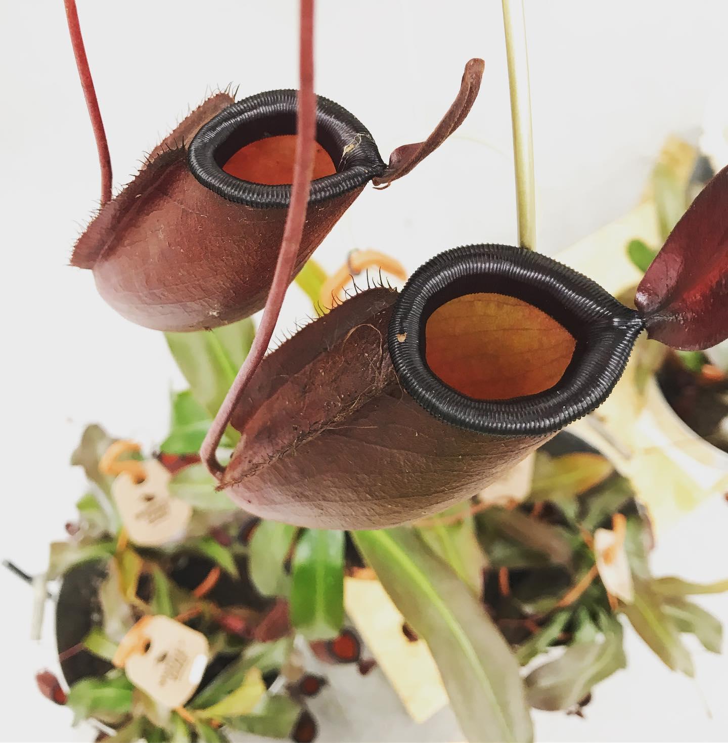La Nepenthes o Nepente è una pianta carnivora d'appartamento unica e suggestiva