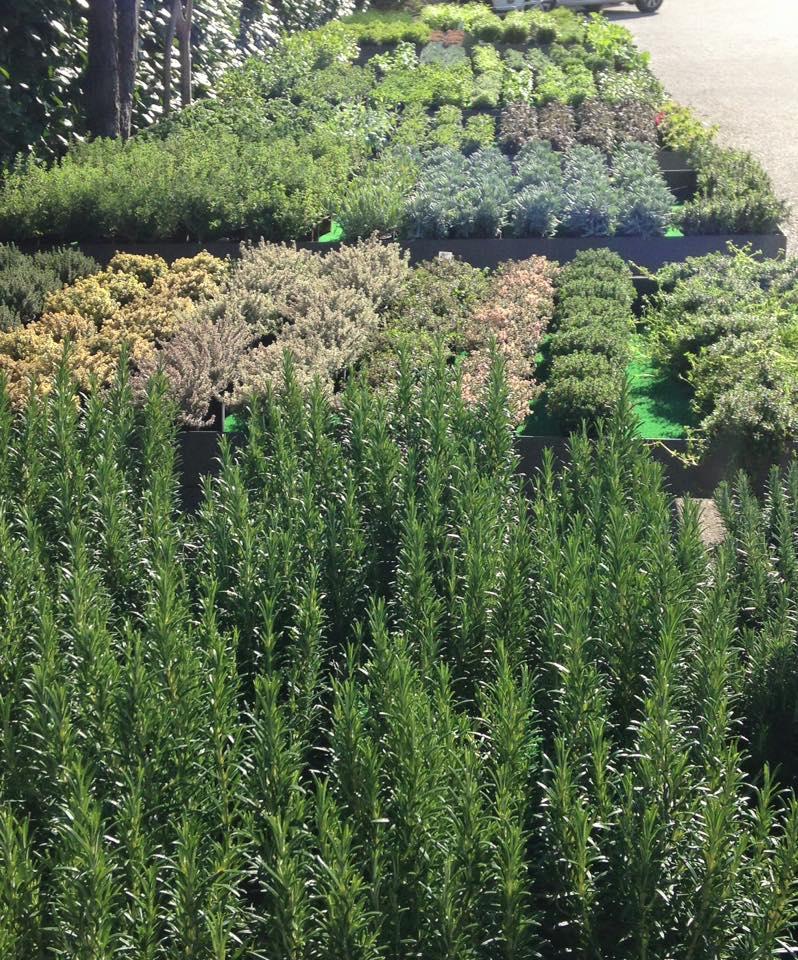 Oltre 40 varietà di piante aromatiche del nostro vivavio