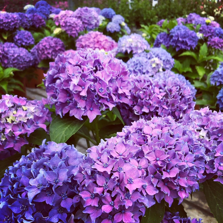 Una splendida Ortensia blu, coltivata nelle nostre serre