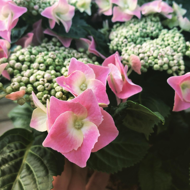 Ortensia Teller, la varietà a fiore piatto. Piante molto affascinanti dall'abbondante fioritura e super rustiche.