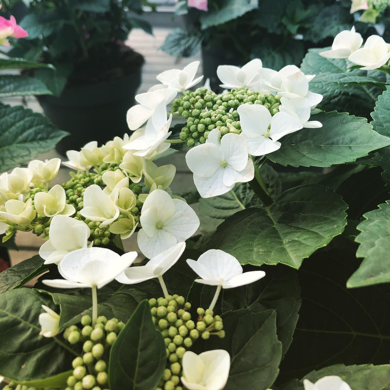 Ortensia Teller bianca