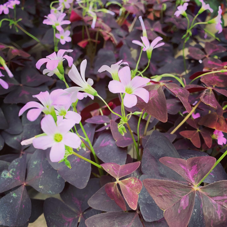 Oxalis triangularis, pianta perenne sia da esterno che da interno, richiede un terriccio ben drenato.