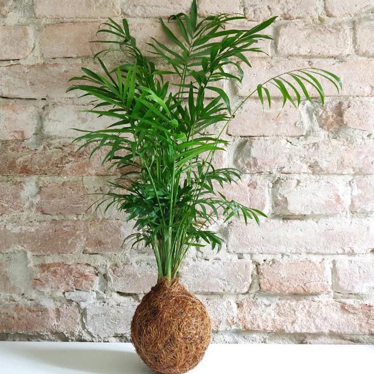"""La Palmetta (Cjhamadorea) è nota anche come """"palma della fortuna""""."""