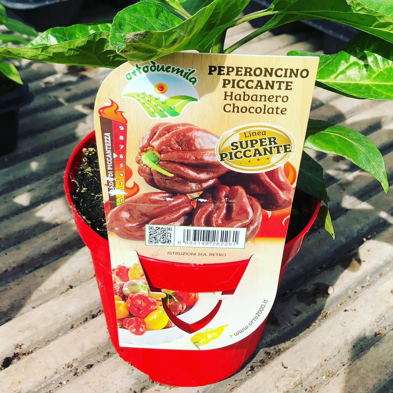 Peperoncino piccante Habanero Chocolate