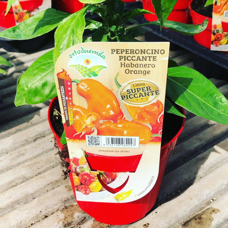 Peperoncino piccante Habanero Orange