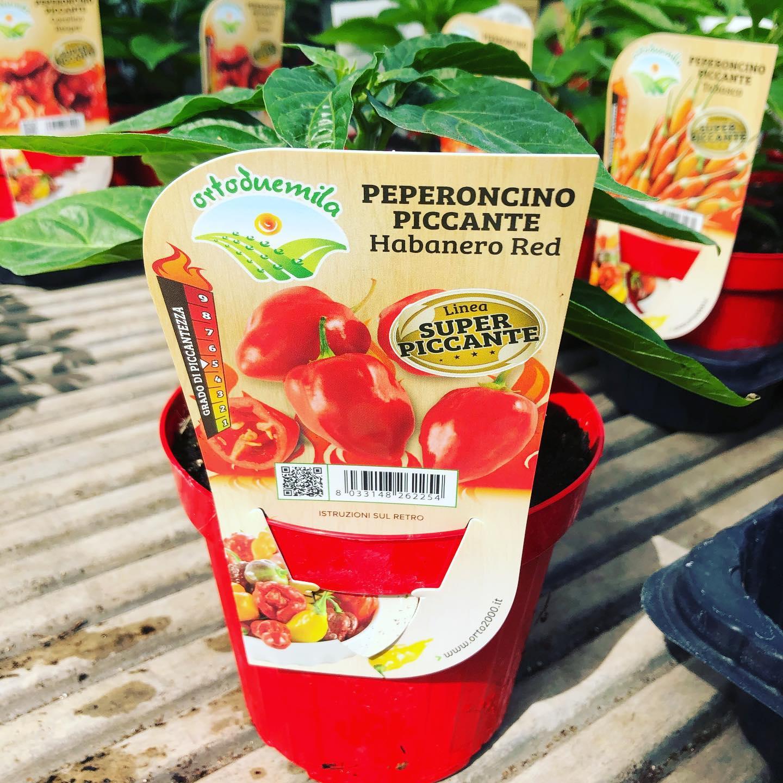 Peperoncino piccante Habanero Red