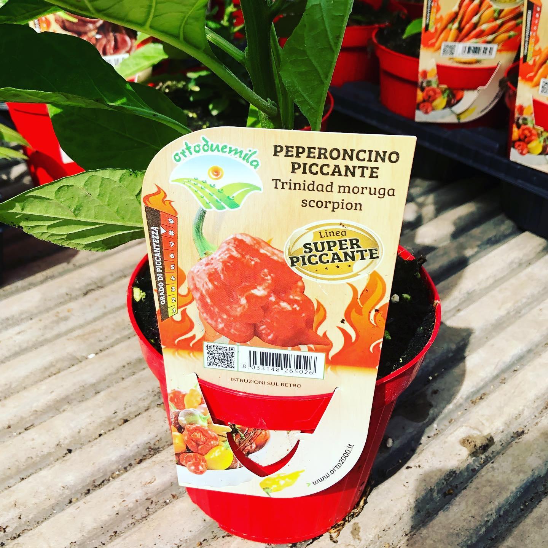 Peperoncino piccante Trinidad moruga scorpion