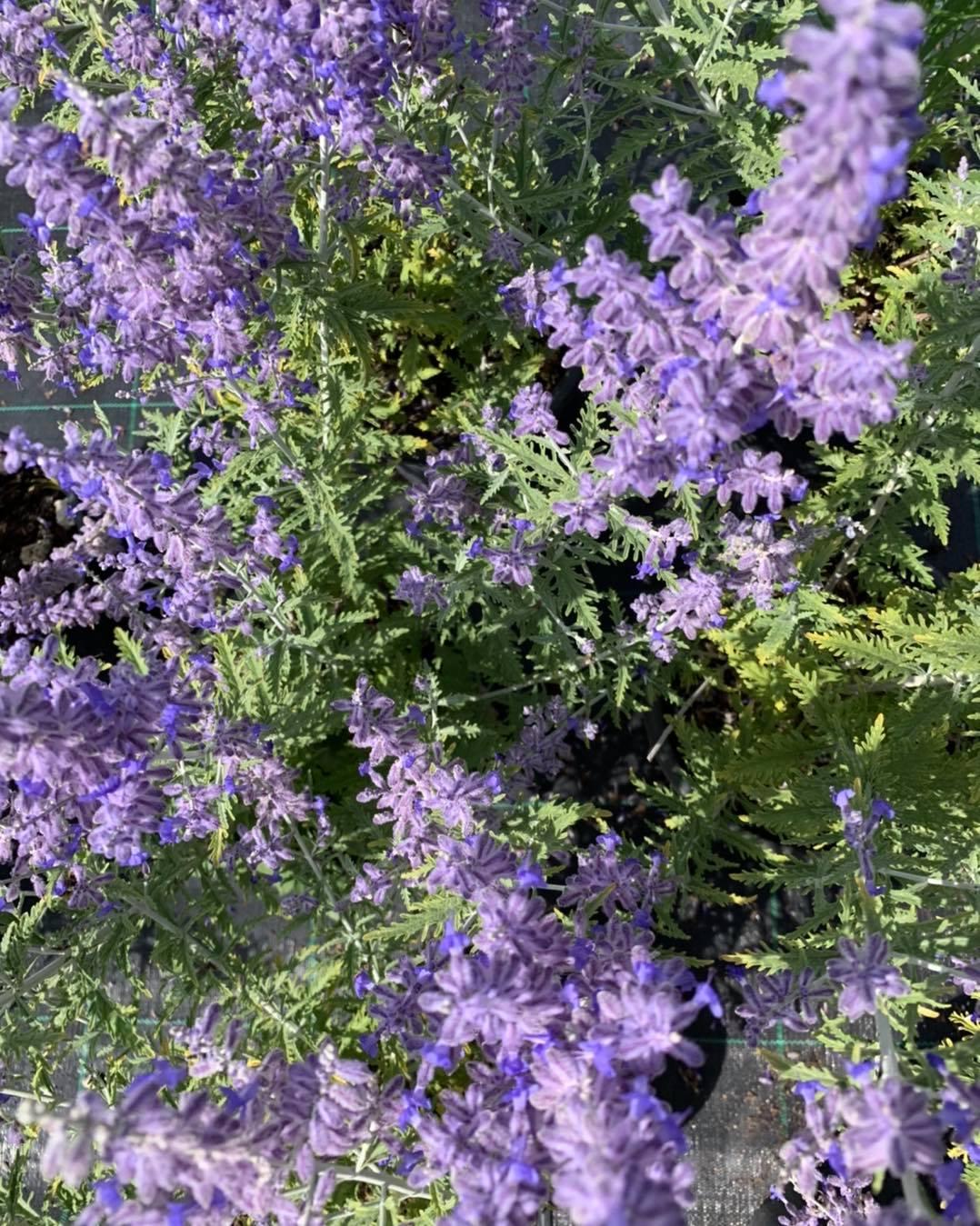 Perovskia Lacey blue, di nostra coltivazione. È la varietà super compatta, che evita così quei cespuglioni enormi ed aperti nel centro