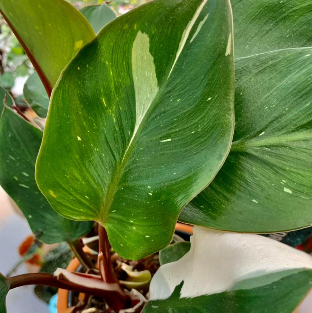 Philodendron white knight. Come la maggior parte dei philo, oltre che per la bellezza viene apprezzato per la semplicità di coltivazione.