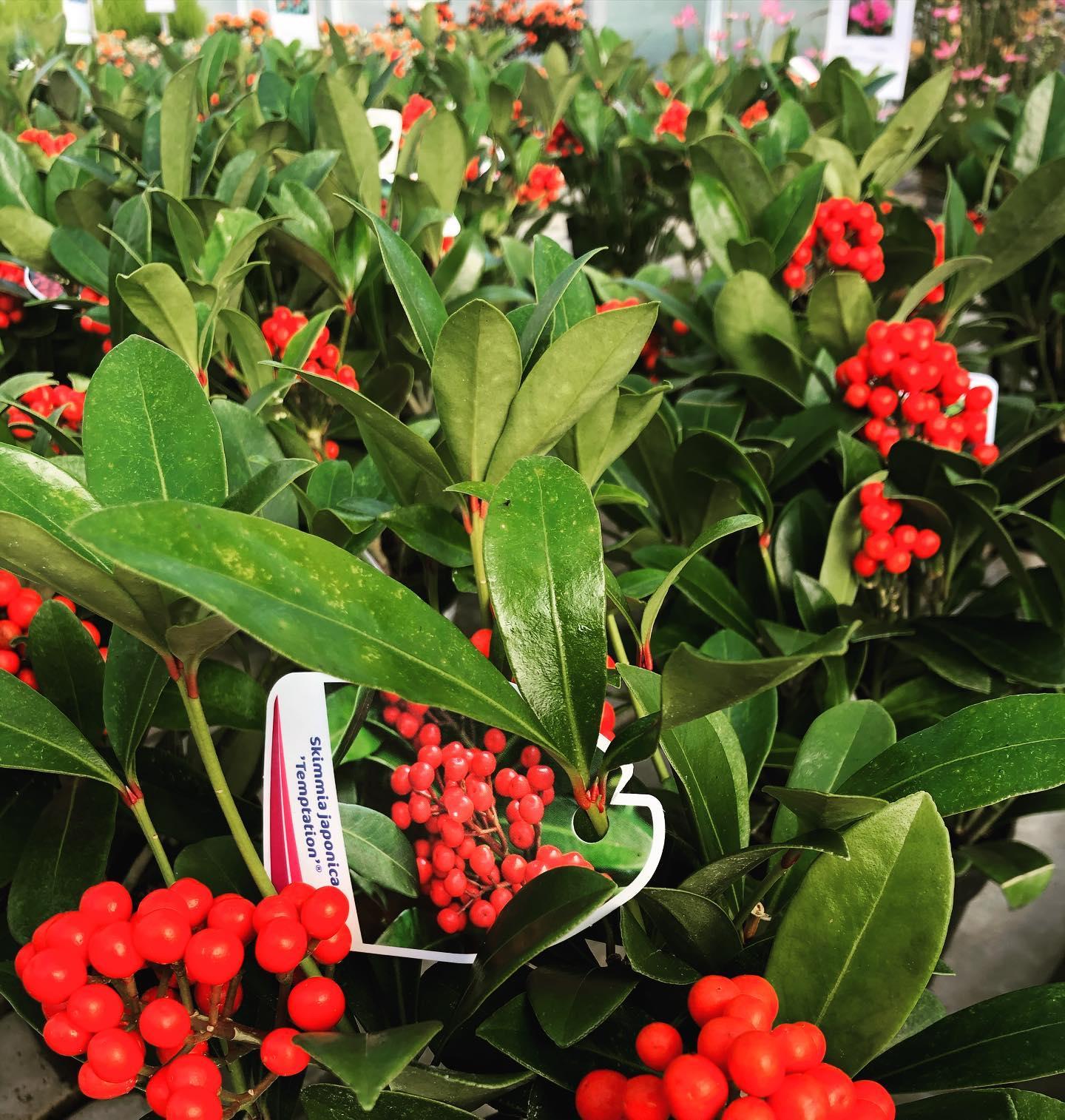 Skimmia temptation. Pianta perenne, resistente al freddo e con bacche rosso fuoco che durano fino a fine febbraio.