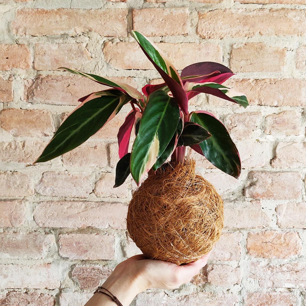 La Stromanthe sanguinea è una pianta ornamentale d'appartamento apprezzata per il suo fogliame variegato dal design decorativo.
